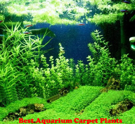Best Aquarium Carpet Plants